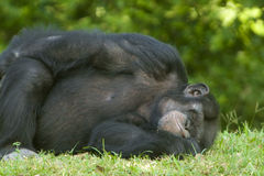 Chimpanzee sleeping on grass Royalty Free Stock Image