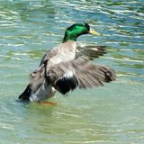 Take Off!. Male mallard duck taking off from pond Royalty Free Stock Photos