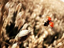 Take off. Ladybug flying over corn field royalty free stock image