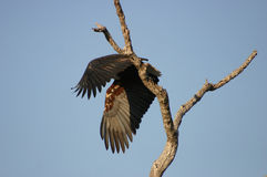 Take-off. African Fish Eagle take-off Royalty Free Stock Images