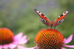 Take-off. Peacock butterfly on a purple coneflower Stock Photo