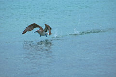 Take-off. Blue-footed Booby (sula nebouxii Royalty Free Stock Images