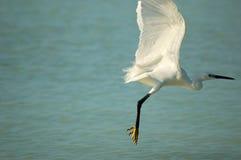 Take off. An Egretta garzetta is taking off from a beach in Zanzibar stock photo