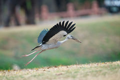 Asian openbill Royalty Free Stock Photo