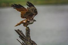 Take off: Brahminy Kite Juvenile - Haliastur Indus stock photo