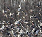 Take off of the flock. Mallard duck flock taking flight Stock Photo