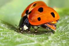 Take-off ladybug Stock Photos