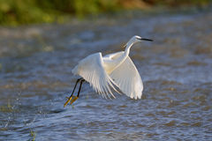 Take off. Little Egret walking on dam wall Royalty Free Stock Images