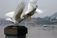 Take off the moment. Two white pigeons wing moment royalty free stock image