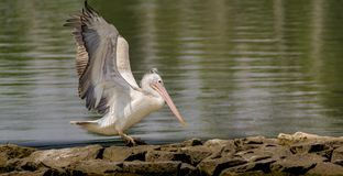 Take off of a Pelecanus philippensis - Spot billed pelican stock image