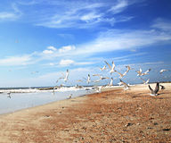 Take Off. Seagulls taking off at the beach Royalty Free Stock Photos