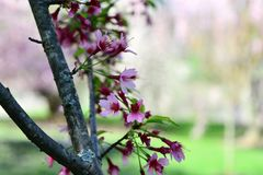 Cherry blossom flowers in the park. Take a photo of a cherry blossom flowers and blur background Stock Image