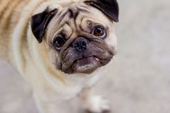 The pug dog are confusing something. Take photo portrait with pug dog royalty free stock photography