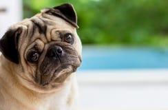 The pug dog are confusing something. Take photo portrait with pug dog royalty free stock photo