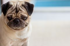 The pug dog are confusing something. Take photo portrait with pug dog royalty free stock image