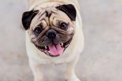 The pug dog are smliley. Take photo portrait with pug dog stock photos