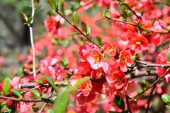 Red Quine flowers in the park. Take a photo of a red Quine flowers and blur background Royalty Free Stock Photos