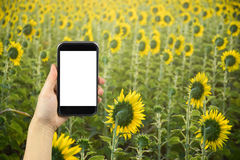take photo by smartphone. Sunflower field. Stock Photo