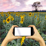Take photo by smartphone. Sunflower field. Royalty Free Stock Images