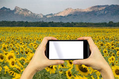 take photo by smartphone. Sunflower field. Stock Photos