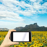 Take photo by smartphone. Sunflower field. Royalty Free Stock Photos