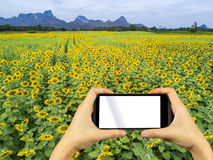 Take photo by smartphone. Sunflower field. Royalty Free Stock Image