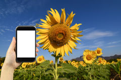 Take photo by smartphone. Sunflower field. Stock Images