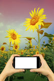 take photo with smartphone.  yellow sunflower in sunglasses with Stock Images