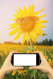 take photo with smartphone.  yellow sunflower in sunglasses with Royalty Free Stock Photos