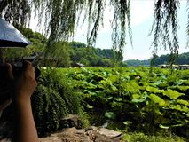 Take a picture! Lotus flower, willow and Chinese view. Take a picture! Nature, environment, willow, trees, lotus flower, lake, Chinese view and landscape, leaves royalty free stock images