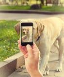 Take pictures Labrador Royalty Free Stock Photo