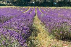 British Lavender Field Stock Photography