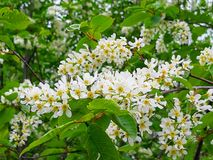 Lovely white flowers from  white lilac royalty free stock image