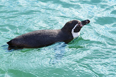 Take a swimm to the wild side. A penguin taking a swimm round Stock Images