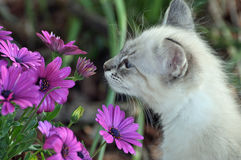Take time to smell the flowers. White fluffy kitten smelling the purple daisies in the garden Royalty Free Stock Photo