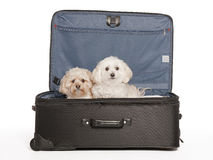 Take Us With You. Maltipoo and Morkie, Mixed Breed Puppies in Travel Suitcase Royalty Free Stock Photos