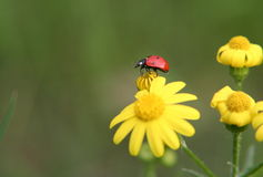 Take a walk on the wild side. Ladybug steping off the yelow flower Stock Image