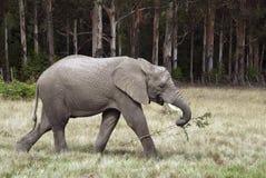 Takeaway del elefante Imágenes de archivo libres de regalías