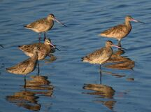 A group of marbled godwits Limosa fedoa