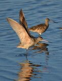 A marbled godwit Limosa fedoa spreads its wings
