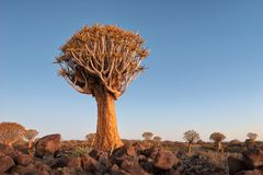 Quiver Tree Forest in Southern Namibia taken in January 2018 stock images