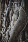 Stone Buddha head buried in tree roots in Ayutthaya historical park, Thailand royalty free stock image