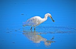 Egret reflecting on recent catch royalty free stock image