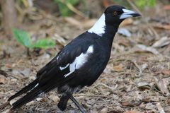 Magpie. Otherwise know as the Maggie. Taken at Coombabah or close to there, Queensland, Australia . Amazing view. You guys need to come here Stock Images