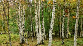 Beautiful scenery of white birches in autum 8 royalty free stock image