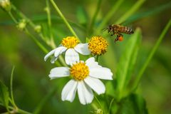 Honey bee carrying pollen sacks Royalty Free Stock Image