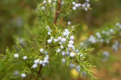 Juniper (Juniperus communis) berries on a branch royalty free stock photography