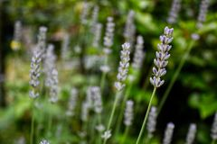 Scented summer lavender field bokeh stock photography