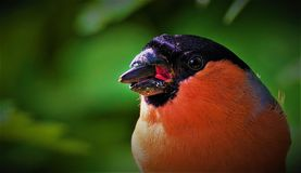 Male Bullfinch Portrait. Taken from a hidden position this extreme close up manages to reveal the inside of a male bull finch`s mouth whilst it attempts to crack Stock Images