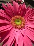 Mema& x27;s Daisys stock image